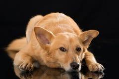 Het liggen gemengde rassenhond op zwarte achtergrond Stock Fotografie
