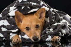 Het liggen gemengde rassenhond op zwarte achtergrond Stock Afbeelding