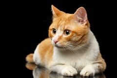 Het liggen Ginger Cat Surprised Looking bij Linkerzijde op Zwarte Spiegel royalty-vrije stock foto