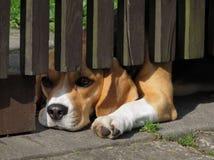 Het liggen hond die onder de omheining kijken Royalty-vrije Stock Afbeeldingen