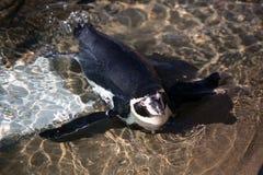 Het liggen Humboldt Pinguïn Royalty-vrije Stock Foto's