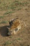 Het liggen hyena Stock Afbeelding