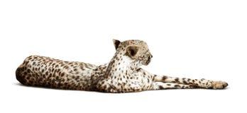Het liggen Jachtluipaard over witte achtergrond Royalty-vrije Stock Afbeelding