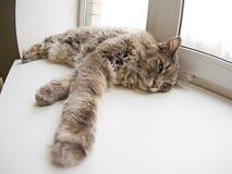 Het liggen kat Stock Foto's