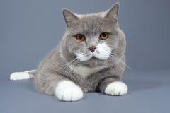 Het liggen kat die de camera bekijken Royalty-vrije Stock Afbeeldingen