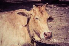Het liggen koe Stock Foto