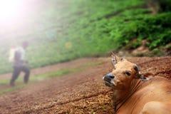 Het liggen koe en een landbouwers bespuitend insecticide Royalty-vrije Stock Foto