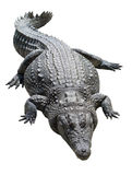 Het liggen krokodil die op wit wordt geïsoleerdl Royalty-vrije Stock Foto's