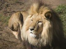 Het liggen Leeuw royalty-vrije stock foto