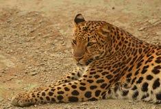 Het liggen luipaard stock afbeeldingen
