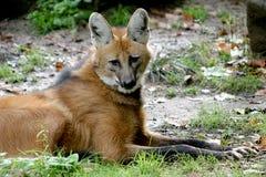 Het liggen maned wolf Royalty-vrije Stock Foto's
