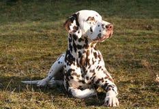 Het liggen Mannelijke Dalmatian Stock Foto