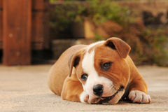 Het liggen puppy royalty-vrije stock afbeelding