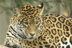 Het liggen van de jaguar Stock Fotografie