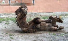 Het liggen van de kameel Royalty-vrije Stock Foto's
