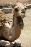 Het liggen van de kameel Royalty-vrije Stock Afbeelding