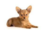 Het liggen van het puppy Royalty-vrije Stock Foto's