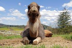 Het liggen vrouwelijke dromedaris (kameel) Royalty-vrije Stock Foto's