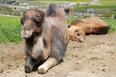 Het liggen vrouwelijke dromedaris (kameel) Stock Foto