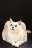 Het liggen zilveren Britse kat op een zwarte achtergrond Royalty-vrije Stock Foto's