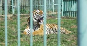 Het lijden van aan Tijger in Gevangenschap stock videobeelden