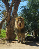 Het likken van de leeuw Stock Foto's