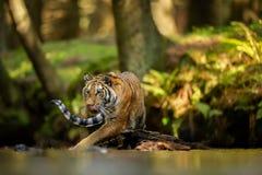 Het likken van een tijger die de rivier lopen De zomerbos met gevaarlijk dier Emotie van honger Siberische tijger royalty-vrije stock afbeelding