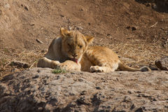 Het likken van leeuw-3 Stock Foto's