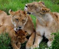 Het likken van leeuwen Stock Afbeelding