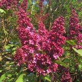 Het Lilac bloeien Royalty-vrije Stock Foto's