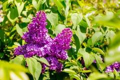 Het Lilac bloeien Purpere lilac bloemen in zonnige weather_ royalty-vrije stock afbeeldingen