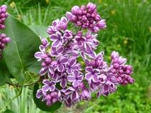 Het Lilac Tot bloei komen Royalty-vrije Stock Foto's