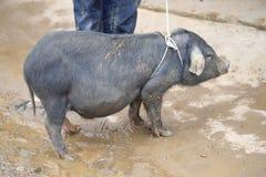 Het lokale varken wordt gebracht aan de markt want de verkoop bij Cau kan op de markt brengen, Simacai-Stad, Lao Cai, Vietnam Stock Foto's