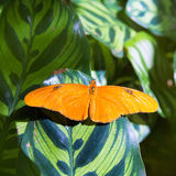 Het longwing van Julia iulia van vlinderdryas in blad Stock Afbeelding
