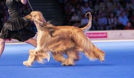 Het lopen Afghaanse hond Stock Fotografie