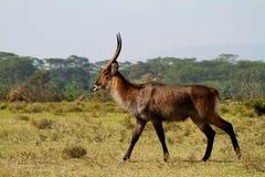 Het lopen Afrikaanse waterbuck Royalty-vrije Stock Foto