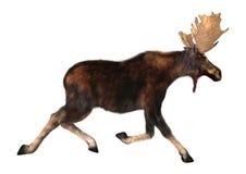Het lopen Amerikaanse elanden Stock Afbeelding