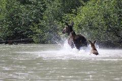 Het lopen Amerikaanse elanden Royalty-vrije Stock Foto