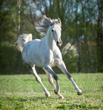 Het lopen Arabisch paard Stock Foto