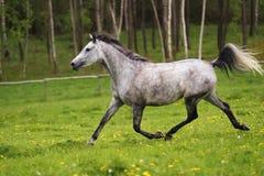 Het lopen Arabisch paard, Shagya Arabier Stock Afbeelding
