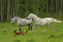 Het lopen Arabische paarden en hond, Shagya Arabier Royalty-vrije Stock Afbeelding