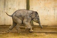 Het lopen babyolifant stock foto