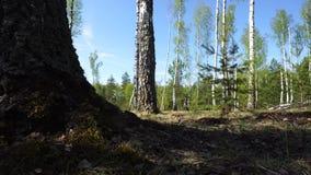 Het lopen in berk bos Droge bladeren en groen gras stock video