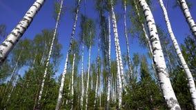Het lopen in berk bos Groene bovenkanten op een blauwe hemel stock footage