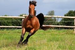 Het lopen bruin paard royalty-vrije stock afbeeldingen