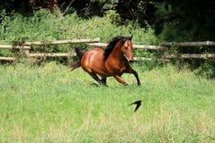 Het lopen bruin paard stock fotografie