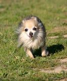 Het lopen chihuahua Royalty-vrije Stock Foto's