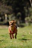 Het lopen Chihuahua Royalty-vrije Stock Foto