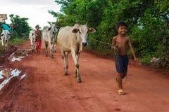 Het lopen de koeien door Siem oogsten platteland stock foto