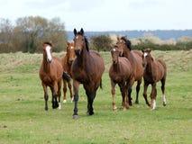 Het lopen de Kudde van het Paard Stock Foto